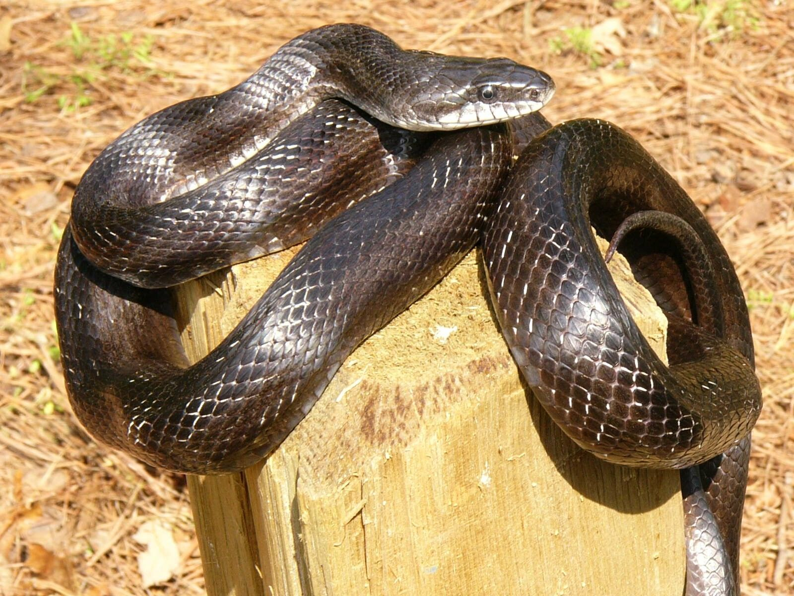 Known for its climbing ability, the harmless black rat snake is notorious for accidentally crawling inside people's homes. (Photo/John Jensen, Georgia DNR)