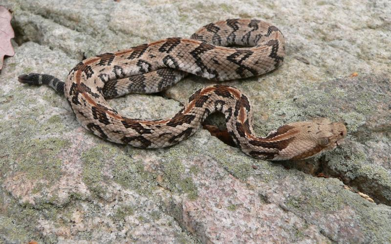 Like most snakes in the pit-viper family, the timber rattler has a triangular head and vertical-slit pupils. Photo/Steve Kyles, Georgia DNR