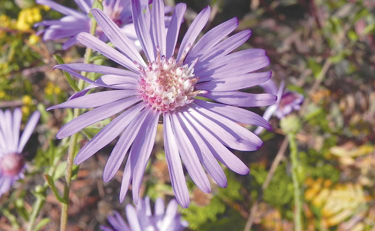 The Georgia Aster is an endangered flower that the USFS hopes to see flourish in the Lake Russell WMA.